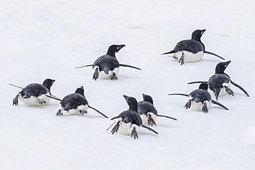 Adelie penguins (Pygoscelis adeliae) tobogganing to the sea at Brown Bluff, Antarctica, Southern Ocean, Polar Regions