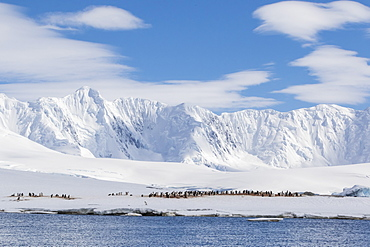 Gentoo penguin (Pygoscelis papua) breeding colony at Dorian Bay, Antarctica, Polar Regions