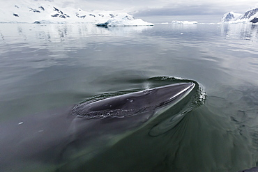 A curious Antarctic minke whale (Balaenoptera bonaerensis), approaches the Zodiac in Neko Harbor, Antarctica, Polar Regions