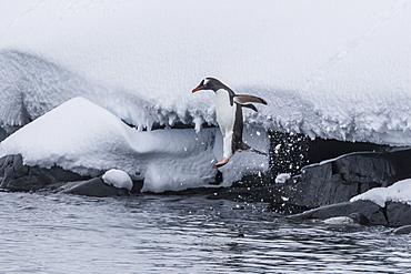 Gentoo penguin (Pygoscelis papua) leaping into the sea at Booth Island, Antarctica, Polar Regions