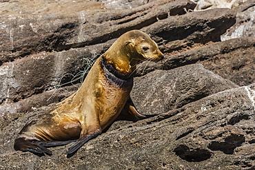 California sea lion (Zalophus californianus) female with monofilament net around her neck on Los Islotes, Baja California Sur, Mexico, North America