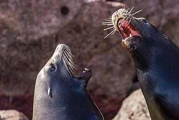 California sea lions (Zalophus californianus) hauled out on Los Islotes, Baja California Sur, Mexico, North America