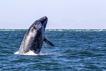 California gray whale calf (Eschrichtius robustus) breaching in San Ignacio Lagoon, Baja California Sur, Mexico, North America