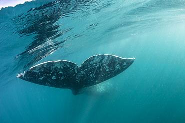 California gray whale (Eschrichtius robustus) flukes underwater in San Ignacio Lagoon, Baja California Sur, Mexico, North America