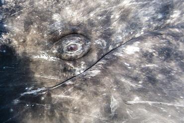Close-up of eye of a California gray whale (Eschrichtius robustus)l underwater in San Ignacio Lagoon, Baja California Sur, Mexico, North America