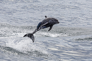 Adult bottlenose dolphin (Tursiops truncatus), leaping into the air near Santa Rosalia, Baja California Sur, Mexico, North America