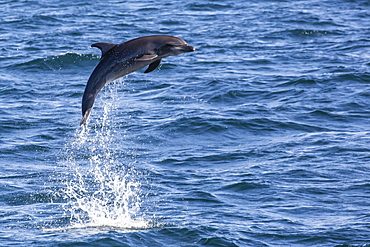 Bottlenose dolphin (Tursiops truncatus), leaping into the air near Isla San Pedro Martir, Baja California, Mexico, North America