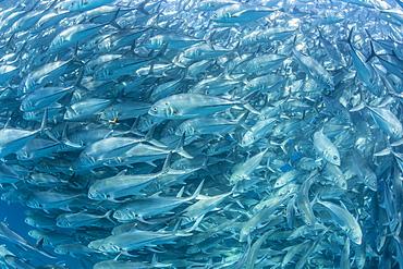 A large school of bigeye trevally (Caranx sexfasciatus) in deep water near Cabo Pulmo, Baja California Sur, Mexico, North America