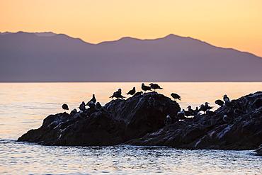 Heermann's gulls (Larus heermanni) at sunset on Isla Rasita, Baja California, Mexico, North America