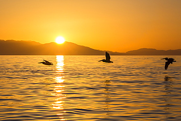 Brown pelicans (Pelecanus occidentalis) in flight formation at sunset near Isla Rasita, Baja California, Mexico, North America
