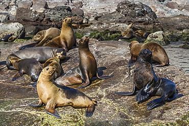 Adult male Guadalupe fur seal (Arctocephalus townsendi) amongst California sea lions, Isla San Pedro Martir, Baja California, Mexico, North America