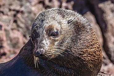 Adult male Guadalupe fur seal (Arctocephalus townsendi), hauled out on Isla San Pedro Martir, Baja California, Mexico, North America