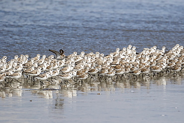 A flock of migrating sanderlings (Calidris alba), Sand Dollar Beach, Baja California Sur, Mexico, North America