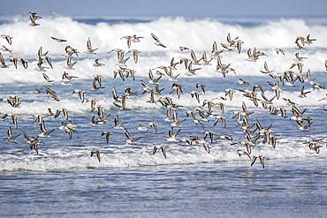 A flock of migrating sanderlings (Calidris alba) taking flight on Sand Dollar Beach, Baja California Sur, Mexico, North America