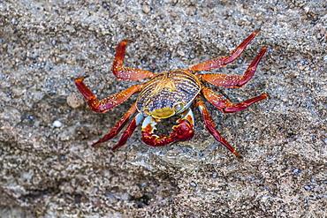Adult Sally Lightfoot crab (Grapsus grapsus) at low tide on Punta Colorado, Isla San Jose, Baja California Sur, Mexico, North America