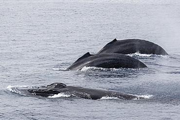 Adult male humpback whales (Megaptera novaeangliae) compete for a female in esterus, San Jose del Cabo, Baja California Sur, Mexico, North America