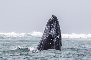 Adult California gray whale (Eschrichtius robustus) spy-hopping in San Ignacio Lagoon, Baja California Sur, Mexico, North America
