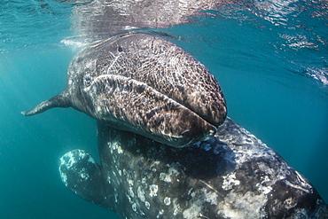 California gray whale (Eschrichtius robustus) mother and calf underwater in San Ignacio Lagoon, Baja California Sur, Mexico, North America