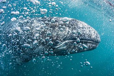 California gray whale (Eschrichtius robustus) calf underwater in San Ignacio Lagoon, Baja California Sur, Mexico, North America