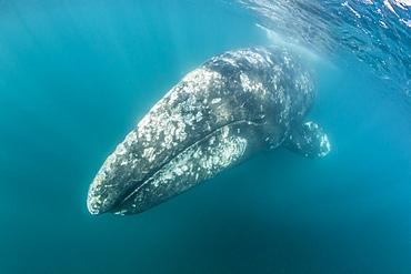 California gray whale (Eschrichtius robustus) mother underwater in San Ignacio Lagoon, Baja California Sur, Mexico, North America