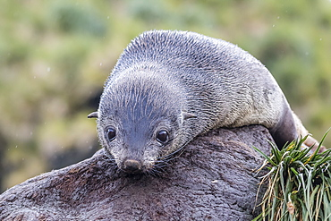 A young Antarctic fur seal (Arctocephalus gazella) on tussac grass in Cooper Bay, South Georgia, Polar Regions