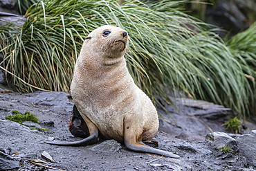 A young leucistic Antarctic fur seal (Arctocephalus gazella), blond due to lack of melanin, Cooper Bay, South Georgia, Polar Regions