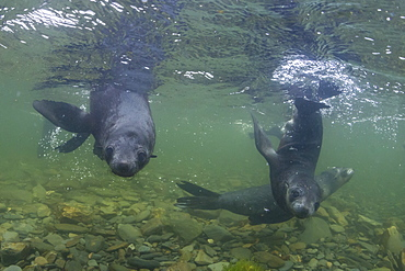 Curious Antarctica fur seal pups (Arctocephalus gazella), underwater in Husvik Bay, South Georgia, UK Overseas Protectorate, Polar Regions