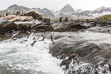 Macaroni penguins (Eudyptes chrysolophus) returning to breeding colony in Cooper Bay, South Georgia, Polar Regions