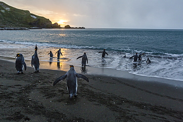 King penguins (Aptenodytes patagonicus) returning to the sea at sunrise at Gold Harbour, South Georgia, Polar Regions