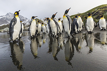 King penguins (Aptenodytes patagonicus) on the beach at Gold Harbour, South Georgia, Polar Regions