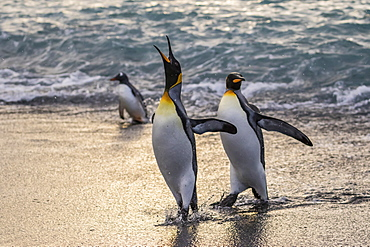 King penguins (Aptenodytes patagonicus) returning from the sea at Gold Harbour, South Georgia, Polar Regions
