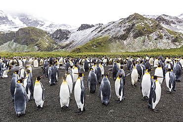 King penguins (Aptenodytes patagonicus), breeding colony at Gold Harbour, South Georgia, Polar Regions