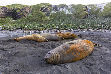 Southern elephant seal bulls (Mirounga leonina), molting in Gold Harbor, South Georgia, UK Overseas Protectorate, Polar Regions