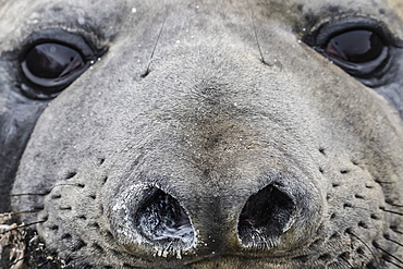 Southern elephant seal bull (Mirounga leonina), molting in Gold Harbor, South Georgia, UK Overseas Protectorate, Polar Regions