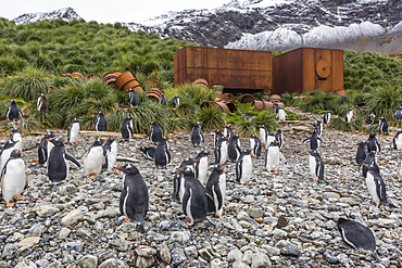 Gentoo penguins (Pygoscelis papua) amongst abandoned whaling equipment at Godthul, South Georgia, Polar Regions