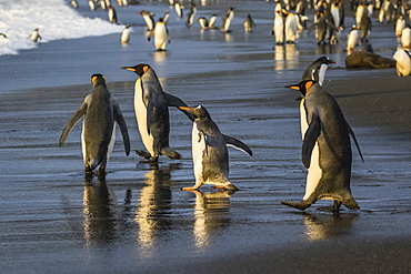 Gentoo penguin (Pygoscelis papua), amongst king penguins on the beach at Gold Harbour, South Georgia, Polar Regions