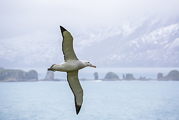 An adult wandering albatross (Diomedea exulans) in flight near Prion Island, South Georgia, Polar Regions