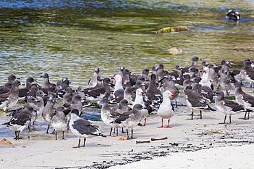 Adult dolphin gulls (Leucophaeus scoresbii) amongst chick creche, New Island Nature Reserve, Falkland Islands, South America