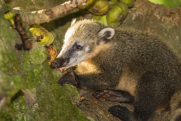Adult South American coati (Nasua nasua), Iguazu Falls National Park, Misiones, Argentina, South America