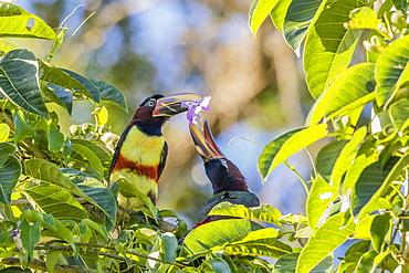 Chestnut-eared aracari (Pteroglossus castanotis), pair feeding within Iguazu Falls National Park, Misiones, Argentina, South America