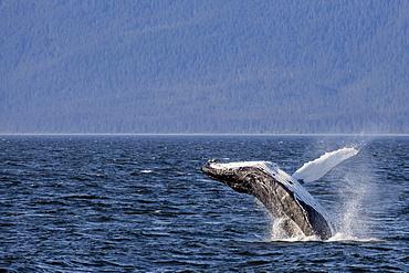 Mother humpback whale (Megaptera novaeangliae) breaching near her calf in Icy Strait, southeast Alaska, United States of America, North America