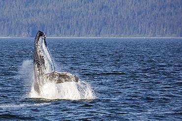 Mother humpback whale (Megaptera novaeangliae) breaching in Icy Strait, southeast Alaska, United States of America, North America