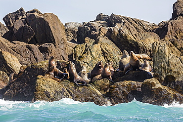Steller sea lion (Eumetopias jubatus), haul out on S'Gang Gwaay Llanagaay, Anthony Island, Haida Gwaii (Queen Charlotte Islands), British Columbria, Canada, North America