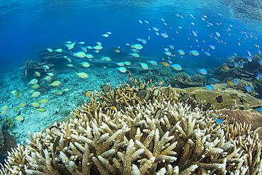 Reef fishes amongst profusion of hard plate at Pulau Setaih Island, Natuna Archipelago, Indonesia, Southeast Asia, Asia