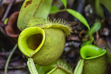 Tropical pitcher plant (Nepenthes spp,) at the Semenggoh Rehabilitation Center, Sarawak, Borneo, Malaysia, Southeast Asia, Asia