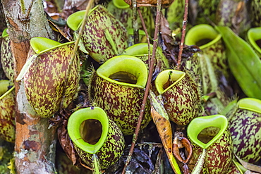 Tropical pitcher plants (Nepenthes spp,) at the Semenggoh Rehabilitation Center, Sarawak, Borneo, Malaysia, Southeast Asia, Asia