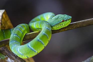 An adult venemous male Borneo temple viper (Tropidolaemus subannulatus), Bako National Park, Sarawak, Borneo, Malaysia, Southeast Asia, Asia