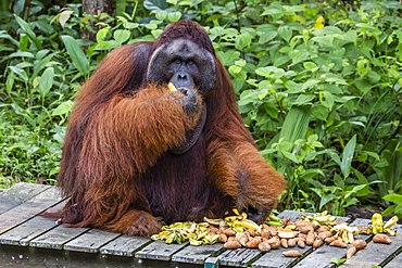 Male Bornean orangutan (Pongo pygmaeus) with full cheek pads, Semenggoh Rehabilitation Center, Sarawak, Borneo, Malaysia, Southeast Asia, Asia