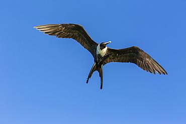 Adult female magnificent frigatebird (Fregata magnificens), San Gabriel Bay, Espiritu Santo Island, Baja California Sur, Mexico, North America