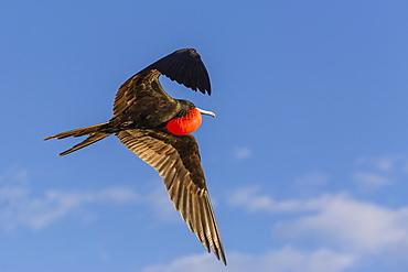 Adult male magnificent frigatebird (Fregata magnificens), San Gabriel Bay, Espiritu Santo Island, Baja California Sur, Mexico, North America